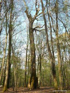 Chêne Carré, forêt de Tronçais (Allier) | Krapo arboricole