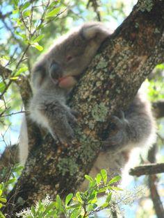 Little koala in the tree - ScV