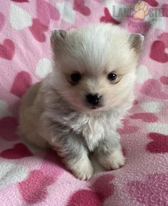 #Pomsky #Mini #Charming #PinterestPuppies #PuppiesOfPinterest #Puppy #Puppies #Pups #Pup #Funloving #Sweet #PuppyLove #Cute #Cuddly #Adorable #ForTheLoveOfADog #MansBestFriend #Animals #Dog #Pet #Pets #ChildrenFriendly #PuppyandChildren #ChildandPuppy #BuckeyePuppies www.BuckeyePuppies.com
