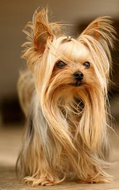 #Yorkshire #Terrier. Fabulous coat....lovely fine features....ooher!
