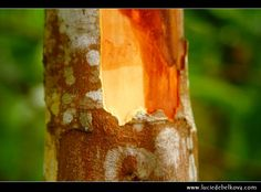 Indonesian cassia tree Cassia Bark & Cinnamon from TAPIOCA FIRE: http://www.amazon.com/Tapioca-Fire-Suzanne-Gilbert/dp/1492701173/?keywords=tapioca+fire&qid=1384881539&ie=UTF8&ref=sr_1_1&sr=8-1