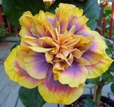 Giant Double Hibiscus Seeds Beautiful Bonsai Flower Seeds Perennial Plants Potted Flower For Home Garden Planting Hibiscus Plant, Hibiscus Flowers, Exotic Flowers, Tropical Flowers, Beautiful Flowers, Lilies Flowers, Purple Flowers, Hibiscus Rosa Sinensis, Flower Seeds