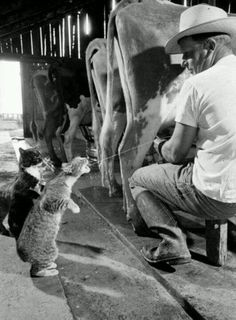 Fun mornings on the farm. Every cat in the 'hood is there when Rob does the milkin'