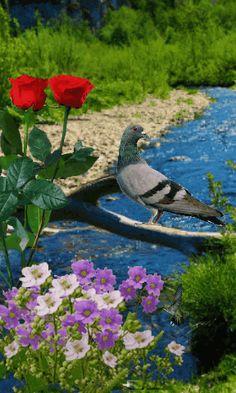 Beautiful Nature Pictures, Beautiful Nature Wallpaper, Nature Images, Blue Roses Wallpaper, Beach Wallpaper, Dove Pictures, Bird Pictures, Foto Gif, Flowers Gif