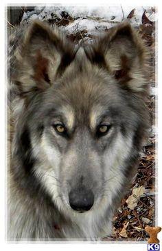 Wolfdog.