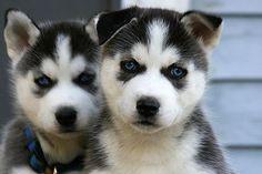 Angry looking #Huskies #dogsandpuppieshusky