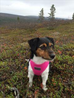 Jackrusselinterrieri. Kiilopää. Lapland. Finland. Hiking