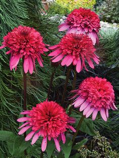 "Supreme Elegance Coneflower - new for 2014. 30"" tall - middle of flower border. Midsummer bloom continues until fall. Sun perennial garden. Grow with Nepeta."