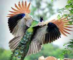 Peacock Flying | http://www.hindustantimes.com/Images/Popup/2013/9/peacockflight3 ...