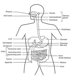 Draw it neat how to draw human digestive system classical function of the digestive system ccuart Choice Image