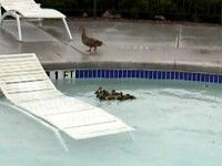 Watch What Mommy Duck Does When her Ducklings Get Stuck in a Pool - great idea