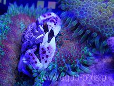 Porcelain crab and anemon Octopus, Porcelain, Fish, Pets, Animals, Animaux, Animal, Calamari, Animales