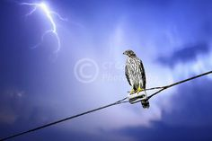 Coopers Hawk Fine Art Print bird photography by CTCostaPhotography, $15.00