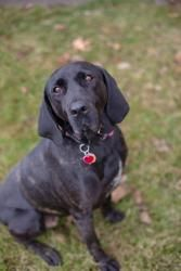 77913 'Mabel' is an #adoptable Coonhound Dog in #Monaca, #PENNSYLVANIA. Although 'Mabel' originally came to us as a stray in September 2012, we feel that we know her well.  When she 1st arrived, she was accompanie...