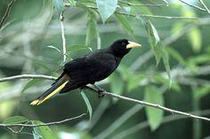 Japu-preto - (Psarocolius decumanus)