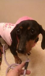 Bella is an adoptable Dachshund Dog in Tinley Park, IL. location: Norridge, IL for more information or to fill out application go to MWDR.org Please note we are a foster based rescue; we do not have a...