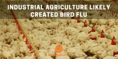 New research suggests that bird flu is caused and spread by factory farmed birds, and not brought in by wild birds, who are commonly blamed for the epidemics of the last decade. In fact, there are no recorded instances of bird flu in wild bird populations until 2005.