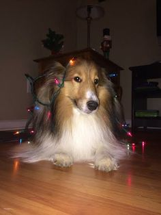 My Christmas Sheltie, Landon.