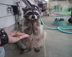 """A delighted raccoon who is saying, """"For me???"""" 