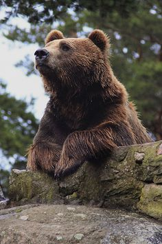 Ours brun Bear Pictures, Animal Pictures, Bear Photos, Ours Grizzly, Grizzly Bears, Animals Beautiful, Cute Animals, Baby Animals, Bear Cubs