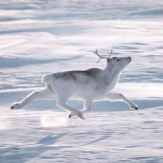 . Winter Wonderland.  Photography by © (JIM BRANDENBURG)  Winter In a flash of white, a Peary caribou prances across Canada's Ellesmere Island. During winter its coat turns a frosty shade. #wildlife #Canada #Ellesmere