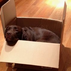 Frances relives puppyhood and climbs into a cardboard box Golden Retriever Labrador, Brown Labrador, Labrador Retriever Dog, Doggies, Dogs And Puppies, Lab Pups, Dog Suit, Chocolate Labs, Pet Breeds