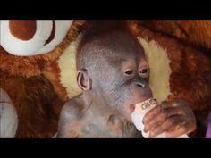Baby orangutan Gito receives love and care at IAR rescue centre - YouTube