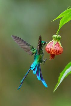 Pretty Birds, Beautiful Birds, Animals Beautiful, Bee Hummingbird, Hummingbird Pictures, Colorful Animals, Colorful Birds, Australian Birds, Tropical Birds