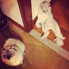 Boring#cats #kitten #lovecats #ragdoll #chinchilla #Persian #kitten #meow #lovecat