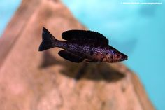 "Cyprichromis microlepidotus ""kiriza black"" WANT! Glass Aquarium, Tropical Aquarium, Planted Aquarium, Tropical Fish, Aquarium Ideas, Victoria Lake, Lake Tanganyika, Freshwater Aquarium Fish, African Cichlids"