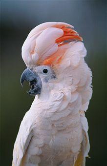 My dream pet bird.