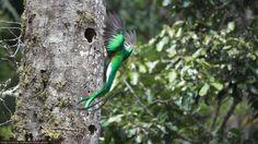 El quetzal macho saliendo del nido Parque de los Quetzales #Pájaros #Bellezas #Animales
