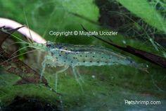 All about shrimp Amano Shrimp, Red Cherry Shrimp, Garden Ponds, Deep Blue Sea, Under The Sea, Frost, Aquarium, Range, Animals