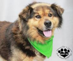 KENO is an adoptable Australian Shepherd Dog in Lancaster, OH. HELLO  I WAS LOST AND THEY FOUND ME  I WAS IN THE LANCASTER AREA  THEY AE CALLING ME KENO   DO YOU KNOW ME OR MY FAMILY   IF NO ONE COMES...