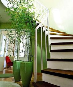 Lucky bamboo  Balanced Living, Inc.
