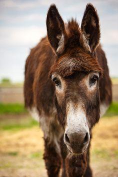 Daily Dose - May 20, 2016 - Sweet Jack - Donkey 2016©Barbara O'Brien Photography