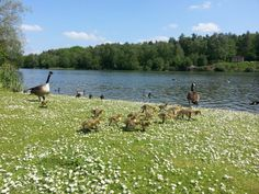 Ducklings and Goslings are on the lake at Clumber Park, Nottinghamshire. 18 May 2014
