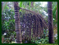 The #Acai #berry tree in the heart of the #Amazon #rainforest in #Brazil !