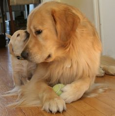 More About The Trustworthy Golden Retriever Puppy Size Golden Retrievers, Chien Golden Retriever, Labrador Retrievers, Cute Puppies, Cute Dogs, Dogs And Puppies, Doggies, Chihuahua Dogs, Beautiful Dogs