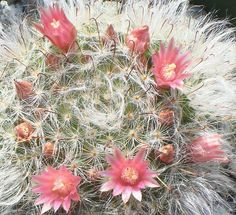 Mammillaria bocasana | Flickr - Photo Sharing!