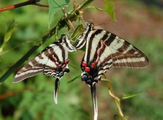 zebra swallowtail butterfly photos   Butterfly genus species - Zebra Swallowtail