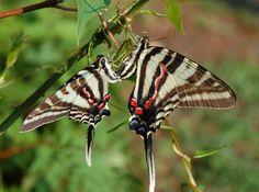 zebra swallowtail butterfly photos | Butterfly genus species - Zebra Swallowtail