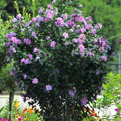 Hibiscus Tree 'Lavender Chiffon' on sale for only $8.99 for ONE DAY ONLY at Cottage Farms Direct...gorgeous!!!