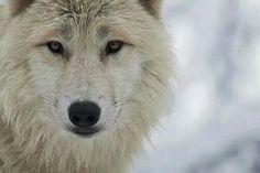 White wolf... Love