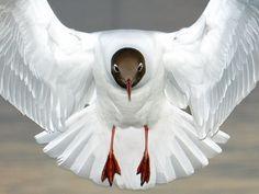 ~~ Black-Headed Gull by Christopher Hoyle ~~