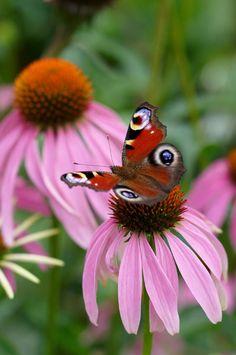 Buy coneflower Echinacea purpurea: Delivery by Crocus.co.uk