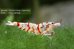 Red and white Tibee (Crystal red and Tiger cross shrimp)