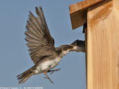 2-Holed Bluebird Nest Boxes [construction]