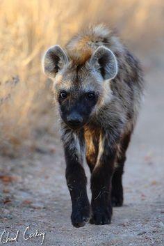 Hyena... nice shot