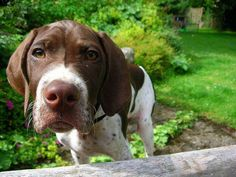 English Pointer Pup ~ Classic Look Gsp Puppies, Pointer Puppies, Pointer Dog, Baby Puppies, I Love Dogs, Cute Dogs, Funny Dogs, German Shorthaired Pointer Black, English Pointer